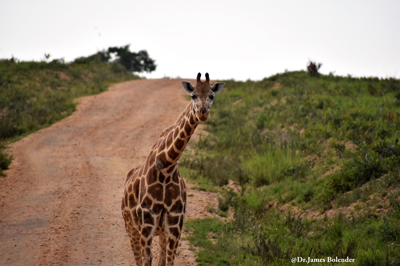 Giraffe-Murchison-Falls-NP-Gorilla-Link-Tours