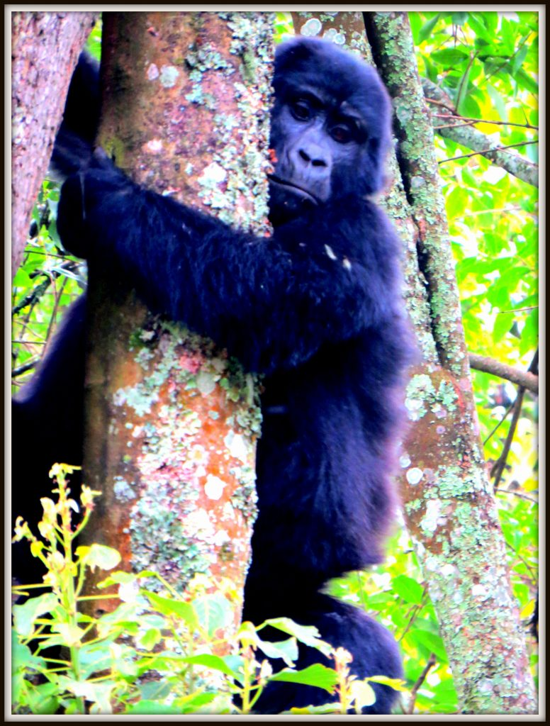 Mountain Gorilla in a tree during Gorilla Tracking