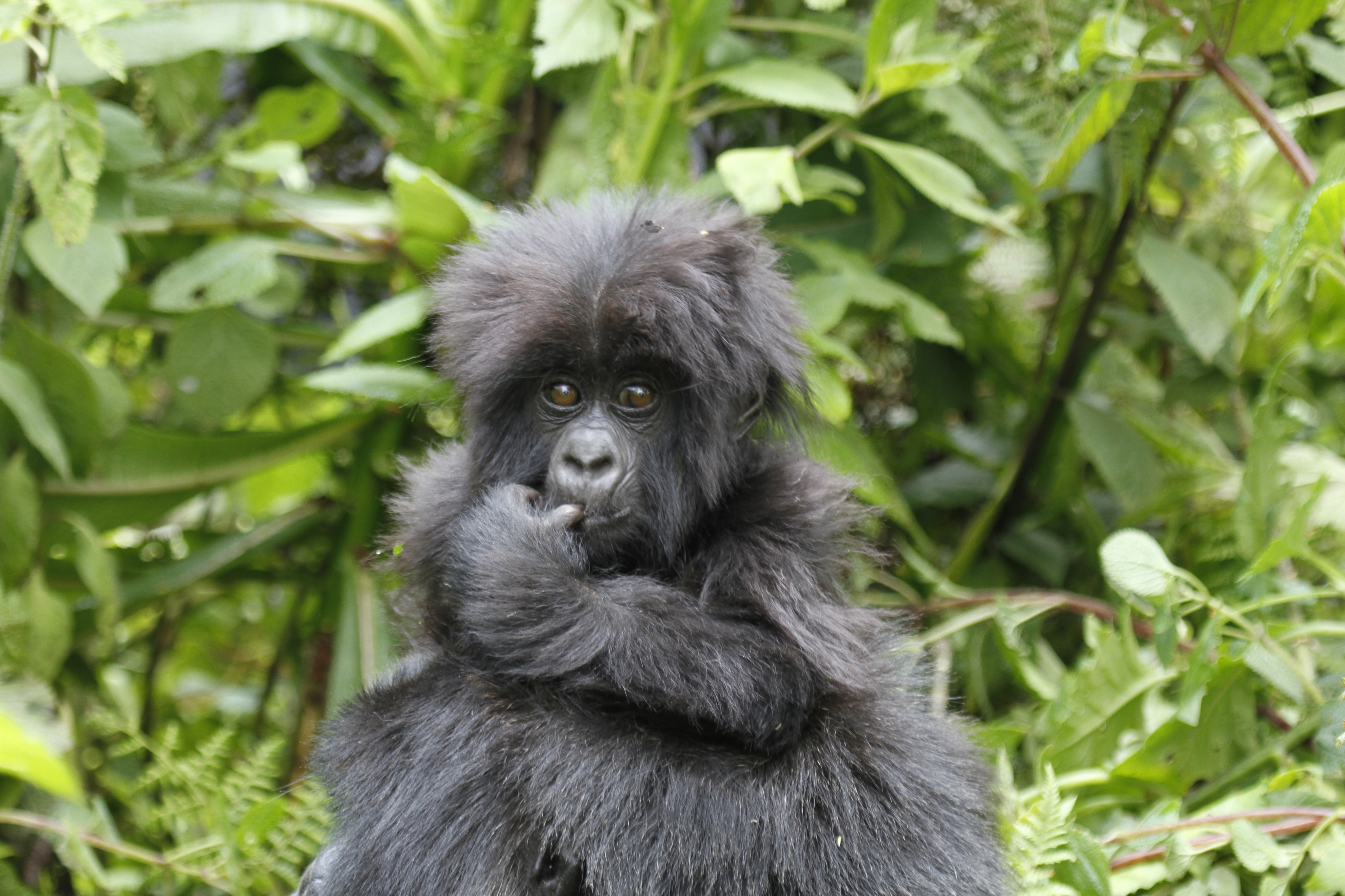 Mountain baby gorilla in Bwindi Forest