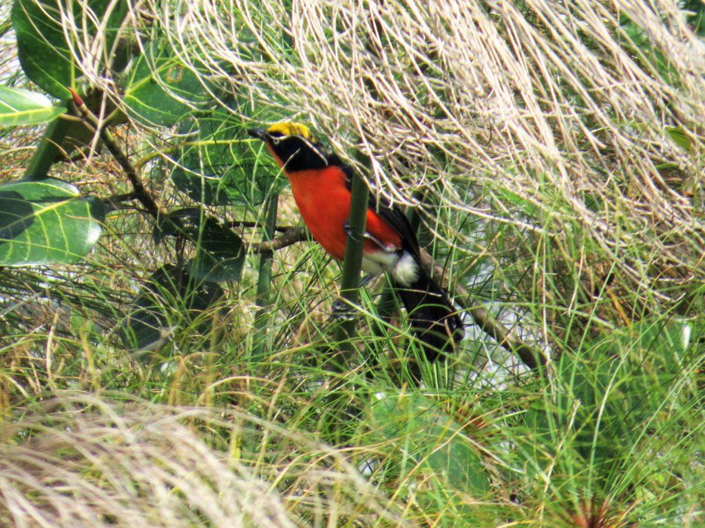 Papyrus-gonolekMabamba-Wetland-Swamp