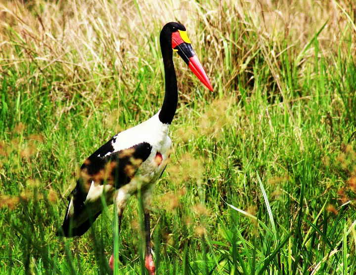 19 Days Birding Uganda safari and exclusive photography tour | Gorilla Link Tours - saddle_billed_stork_murchison_falls_national_park