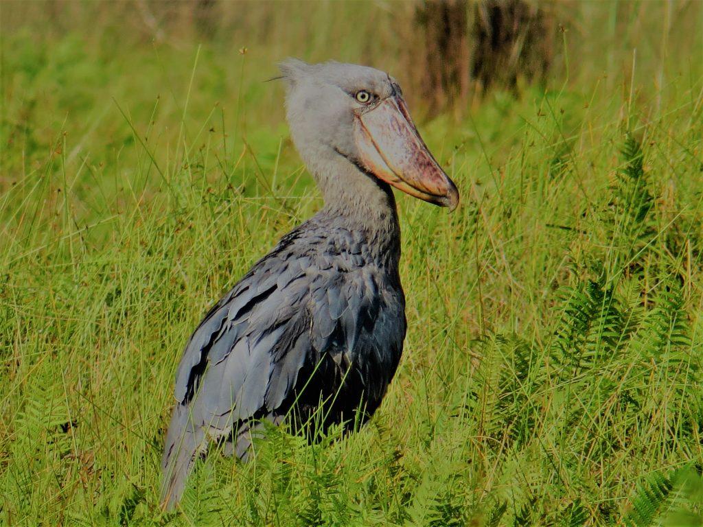 Shoebill-Stork-Mabamba-Wetland-Swamp