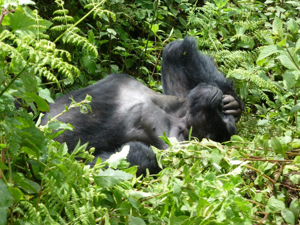 Gorilla trekking. Silverback Gorilla @Gorilla Link Tours