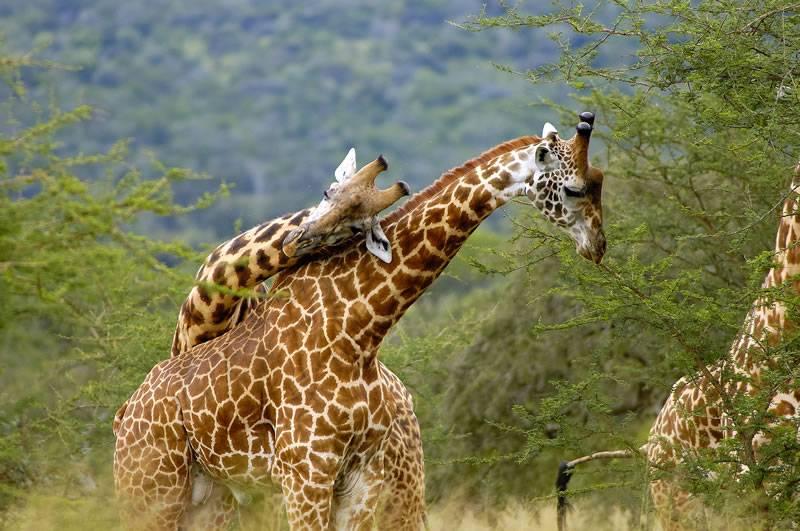 giraffes_in_rwanda