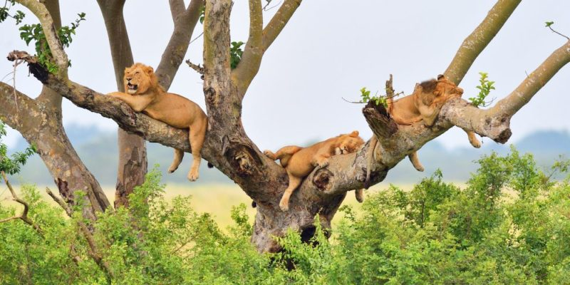 4 Days Lions wildlife safari and Kazinga channel boat tour in Queen Elizabeth national park