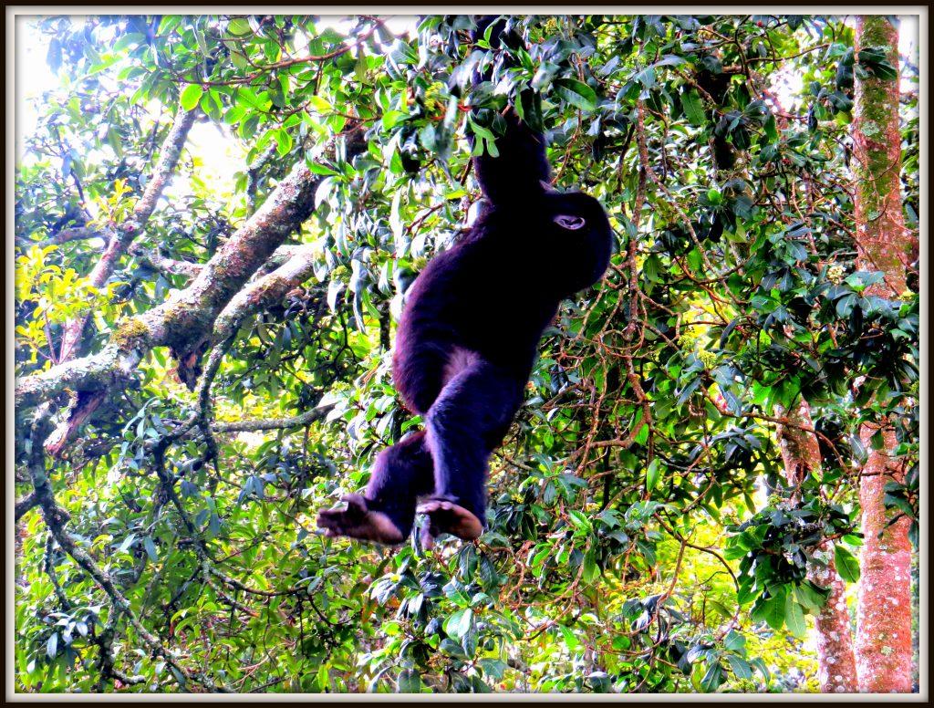 Baby Gorilla feeding in Bwindi Forest