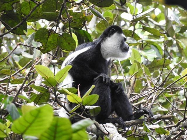 Black and white colobus monkey- Kibale National Park