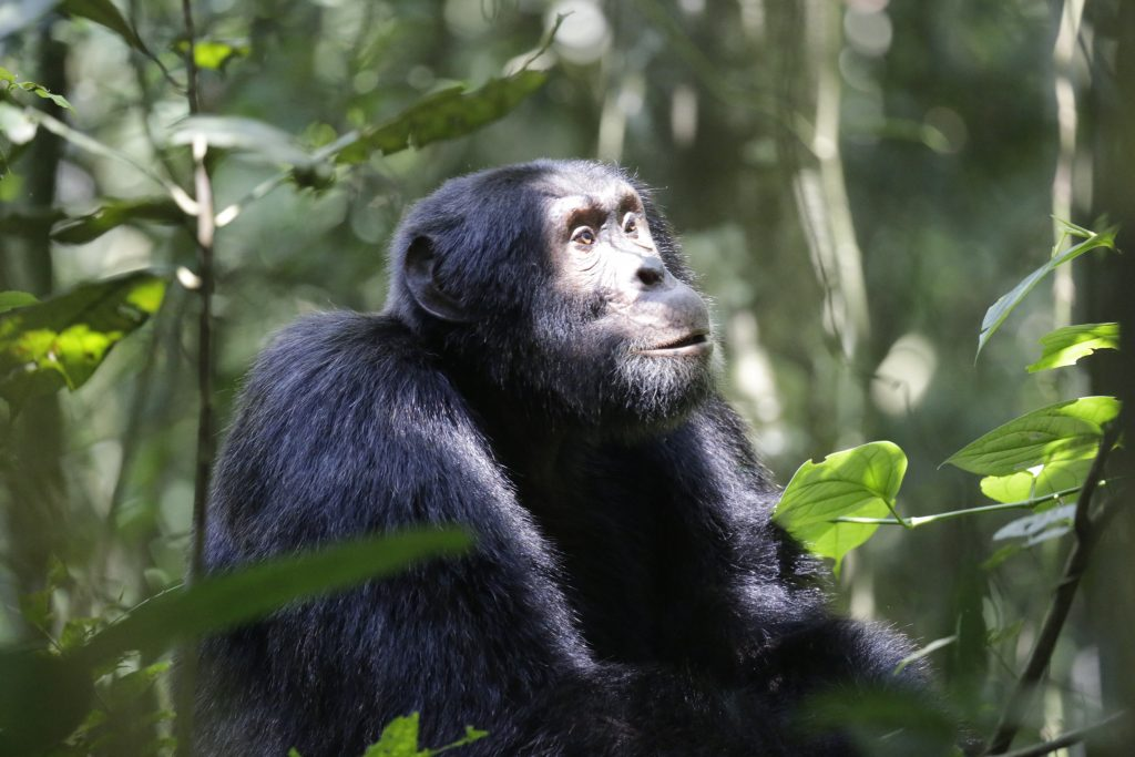 Chimpanzee in Kibale National parkp- Chimapnzee Trekking safaris in Uganda