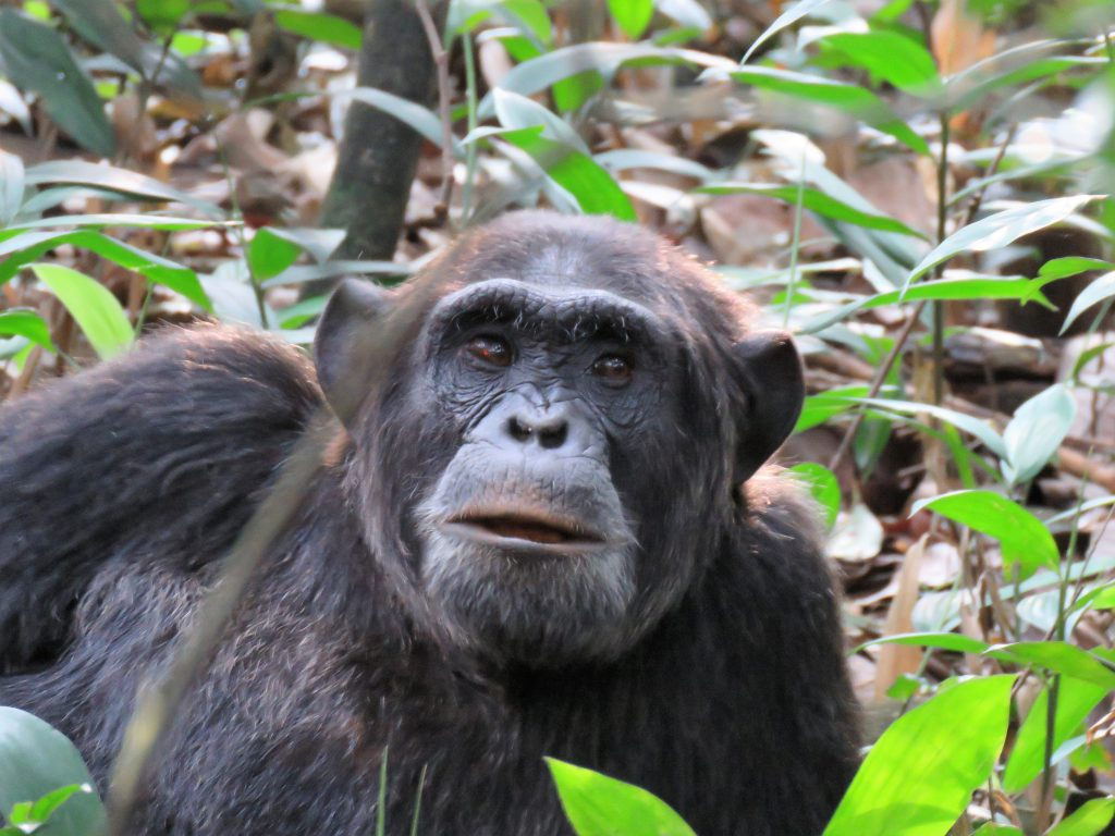 Chimpanzee Tracking and Chimpanzee Habituation