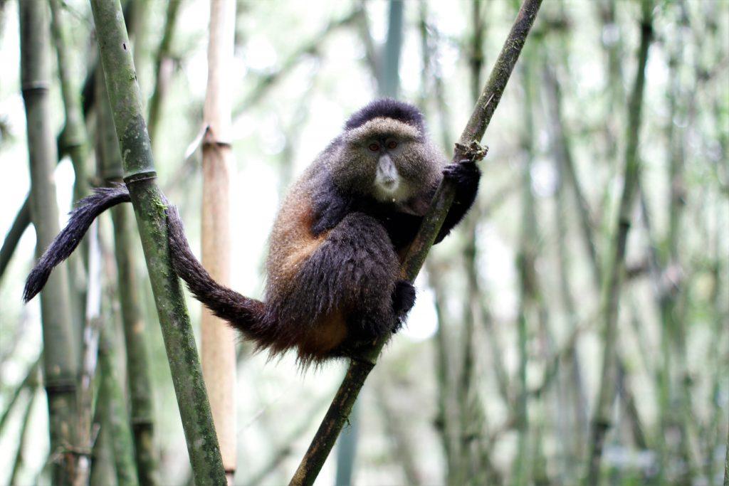 Golden Monkey trekking- Best things to do in Uganda