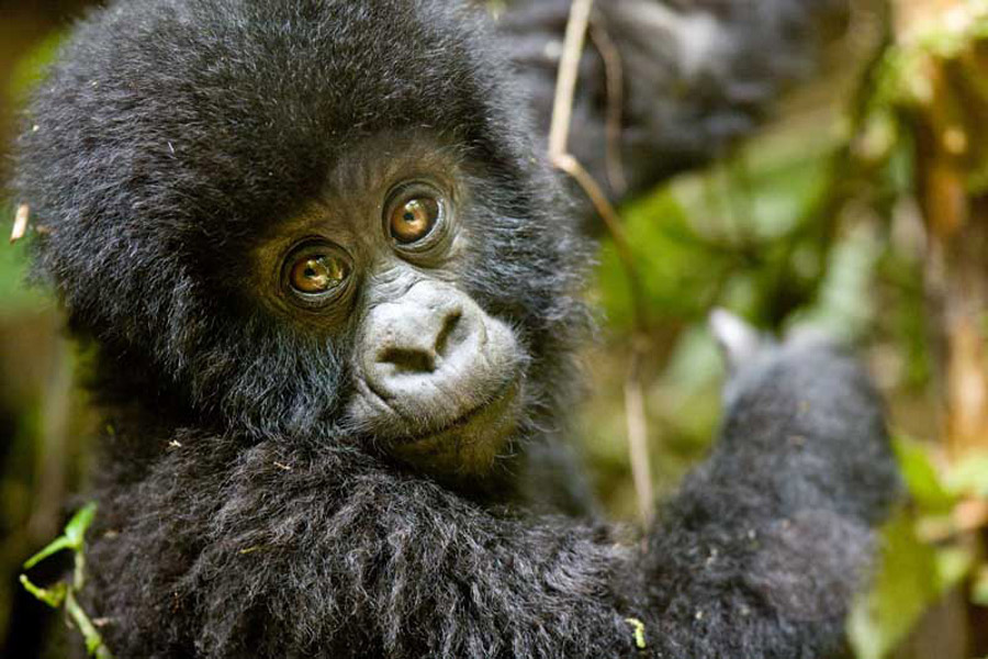 Gorilla Tracking Safaris in Uganda