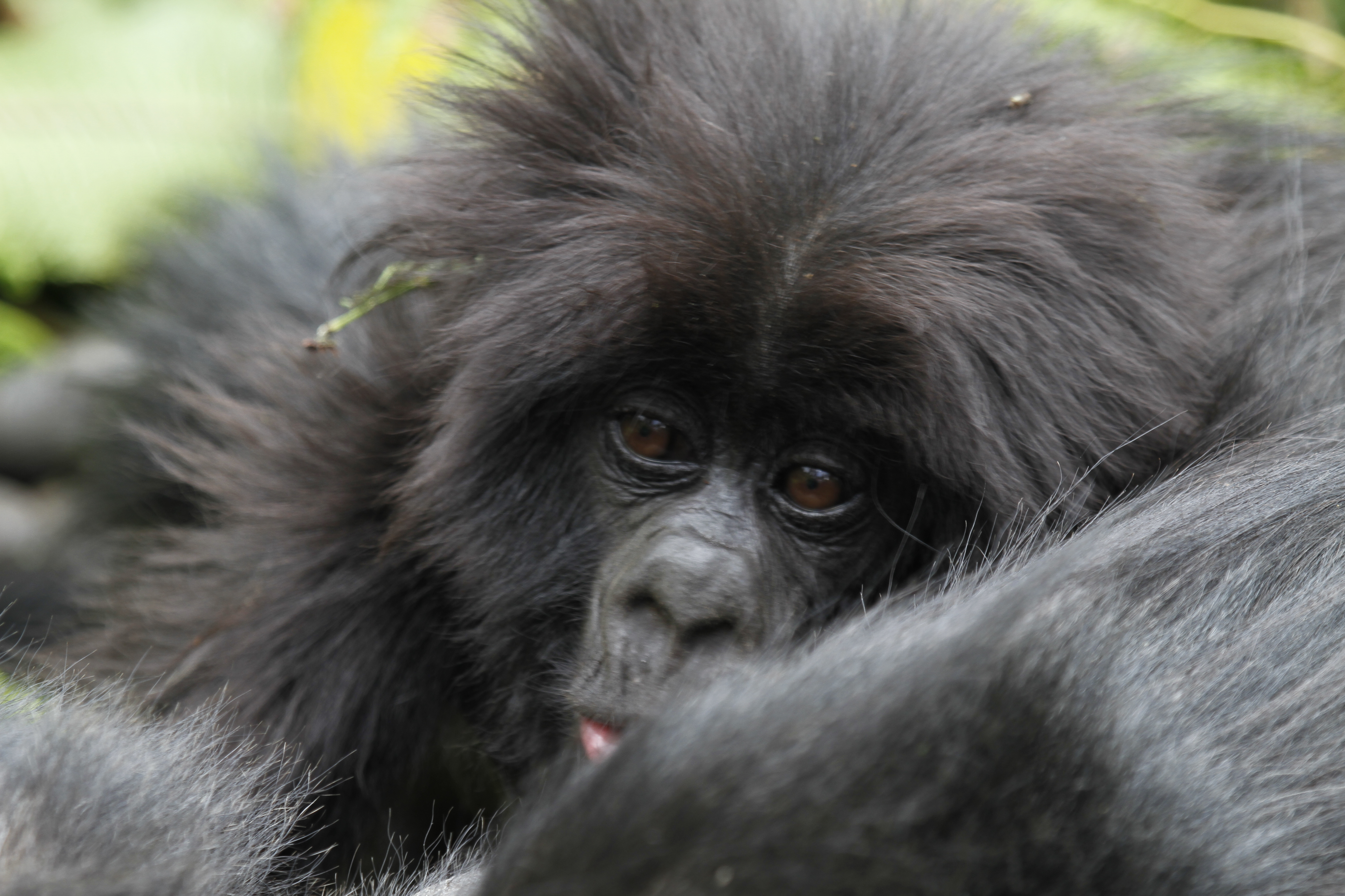 Mountain baby Gorilla- Gorilla Luxury safaris- 7 Days of Gorillas chimps and shoebill stork safari