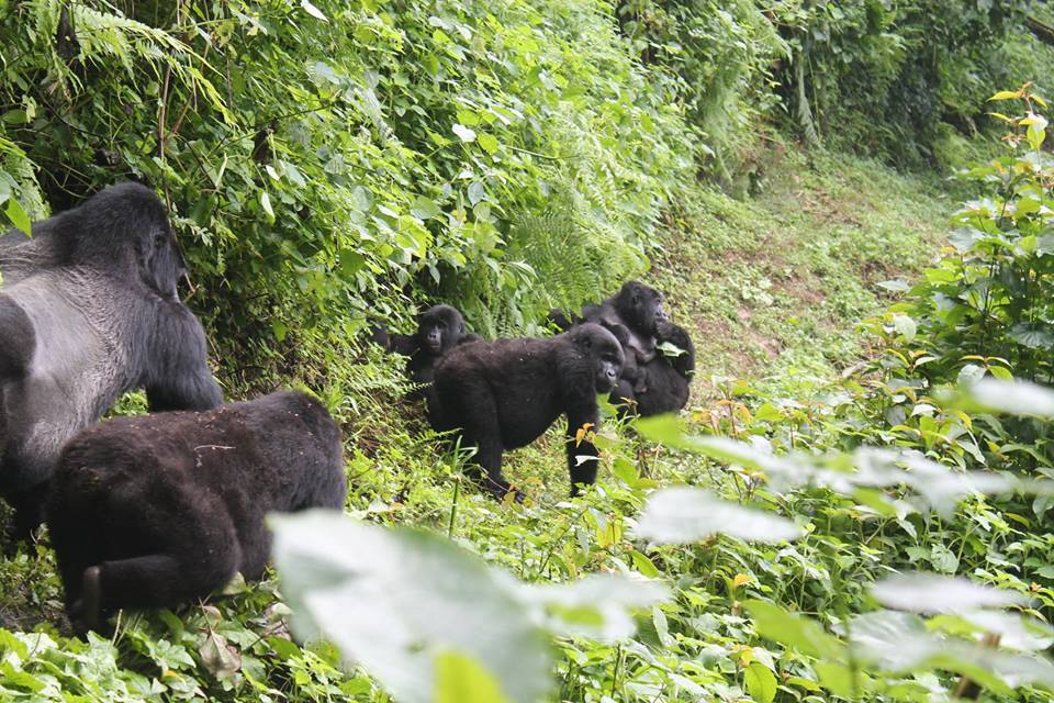 Mountain Gorillas in Bwindi Impenetrable NP