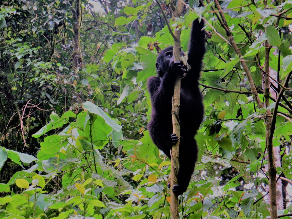 Visit Bwindi for Gorilla trekking