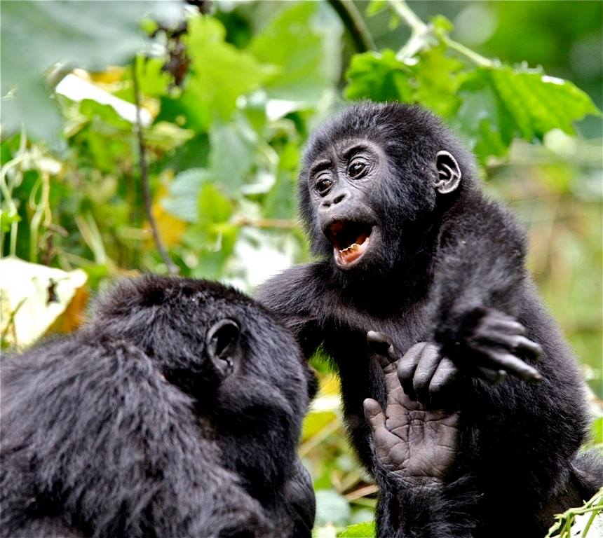 Gorilla Tracking Safaris in Uganda- Gorilla Luxury Safaris