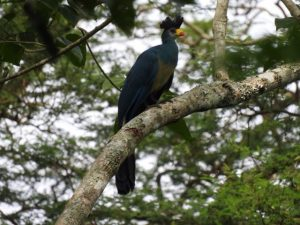 Great Blue Turaco- Commonly seen in Kibale National Park