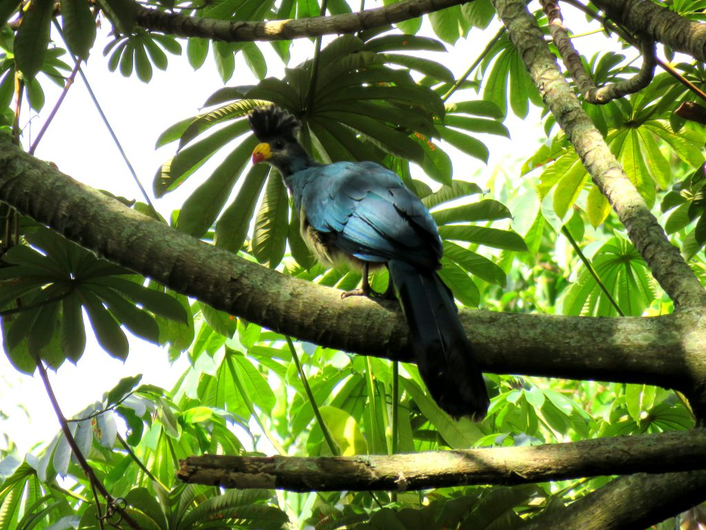Great Blue Turaco- Best bird watching places in Uganda