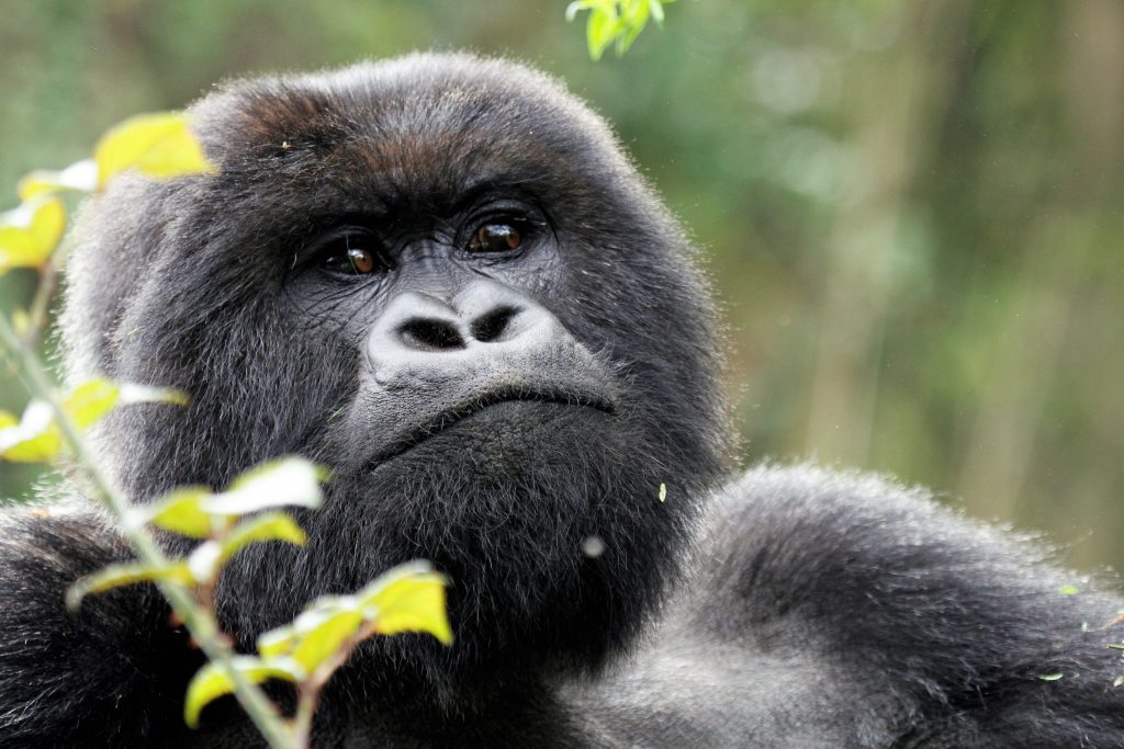 Adult mountain gorilla- Short gorilla trekking safaris in Uganda
