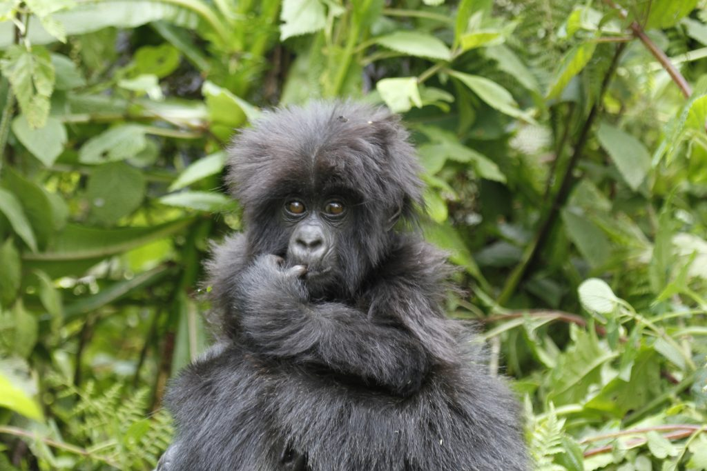 When to Book Gorilla Trekking Permits