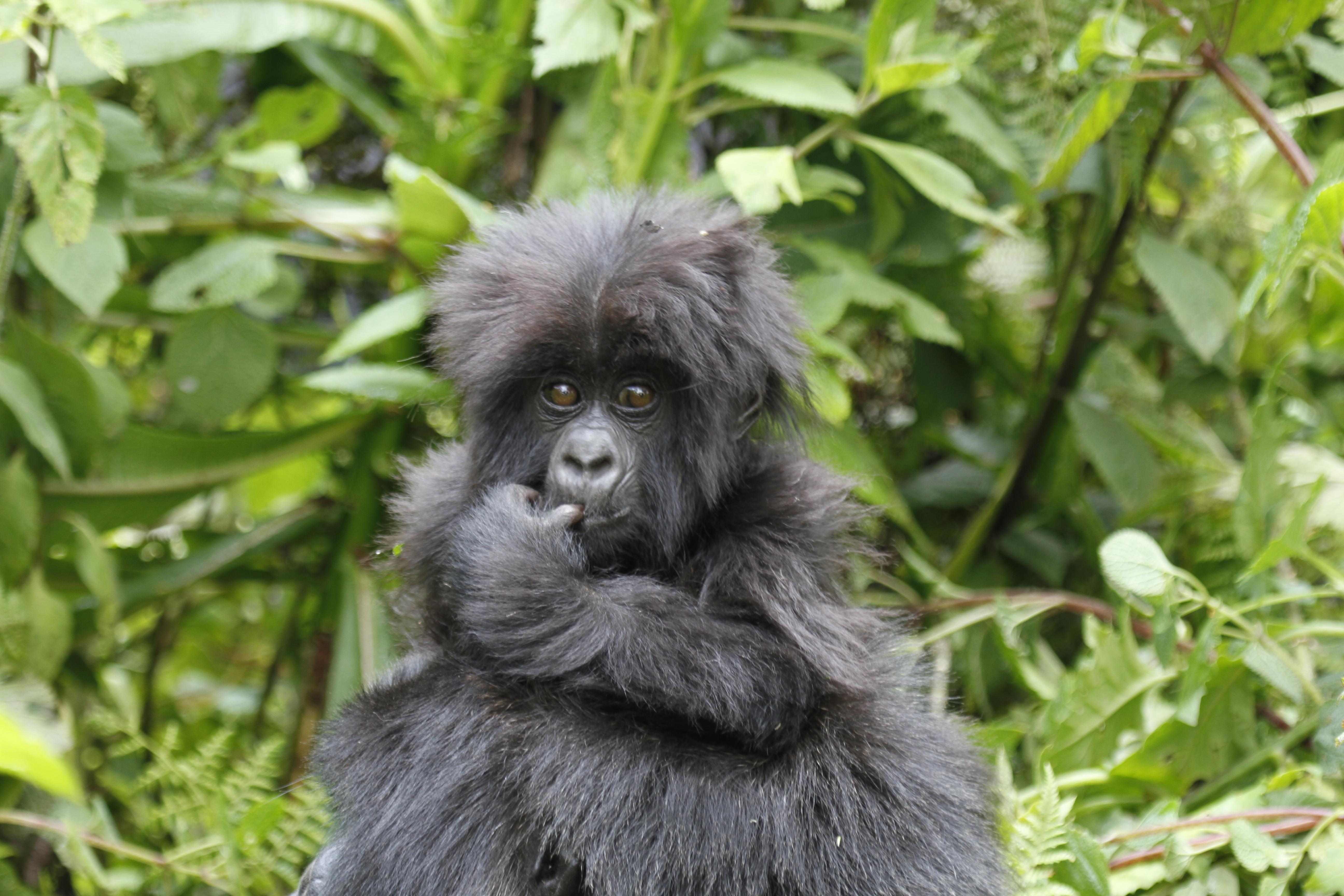 Gorilla trekking- Short gorilla trekking safaris in Uganda