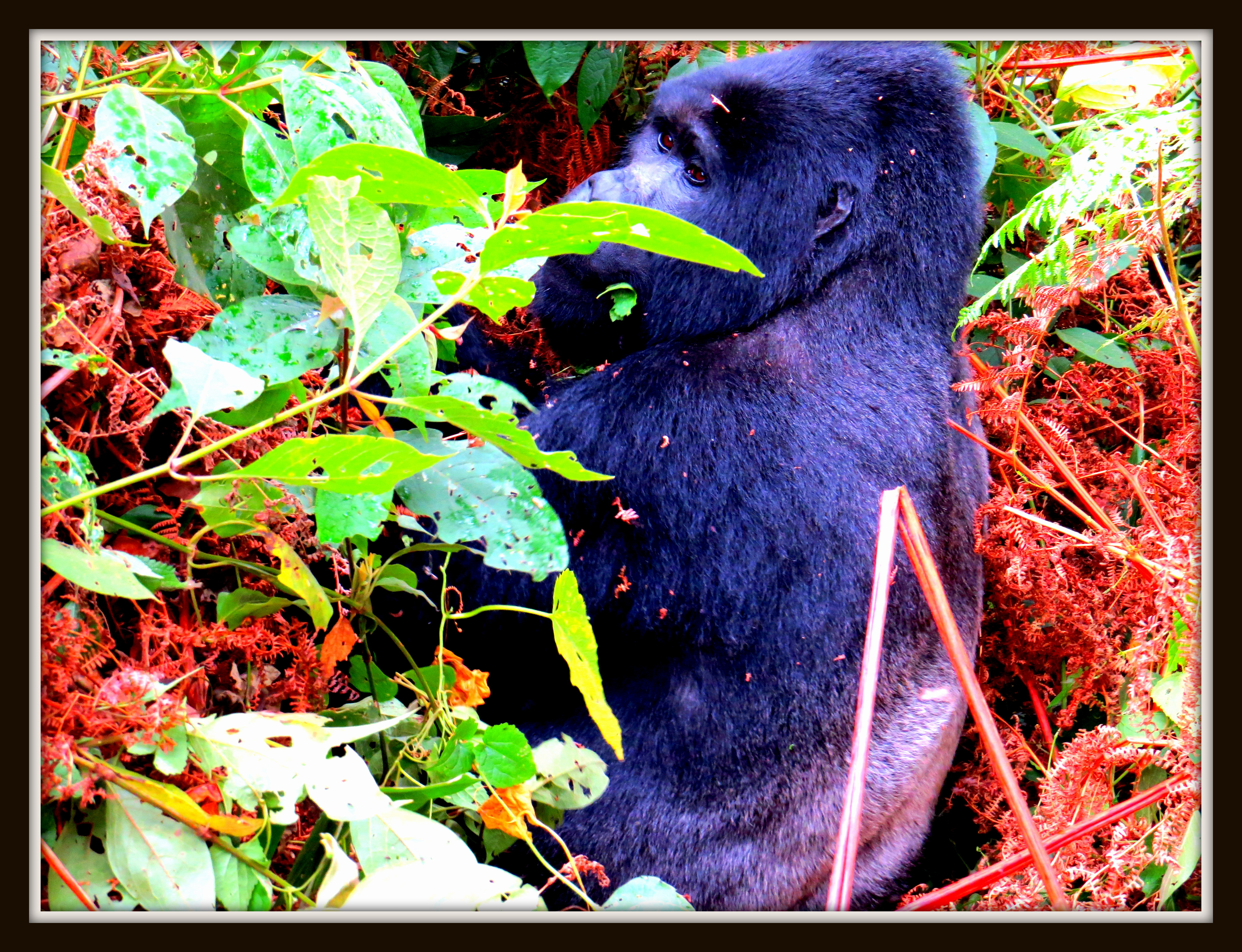 Silver Back Gorilla in Bwindi Forest