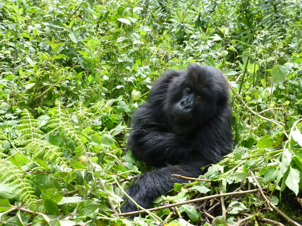 short gorilla trekking safaris in Uganda
