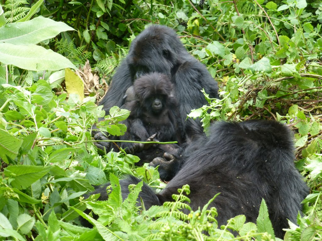 Mountain gorillas- How to reserve gorilla permts