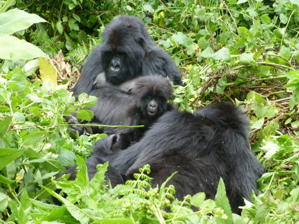 Mountain gorillas- Short Gorilla Trekking safaris in Uganda