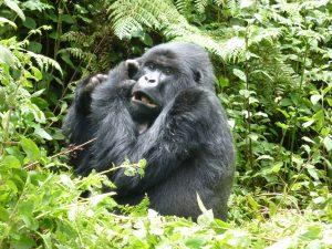 18 Days Uganda wildlife safari with gorilla tracking