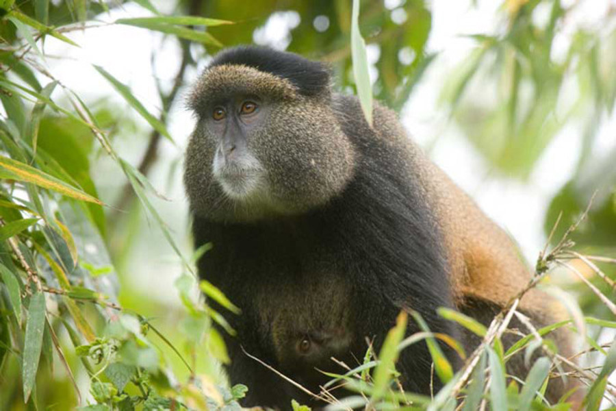 4 Days Rwanda gorillas and golden monkey tracking tour