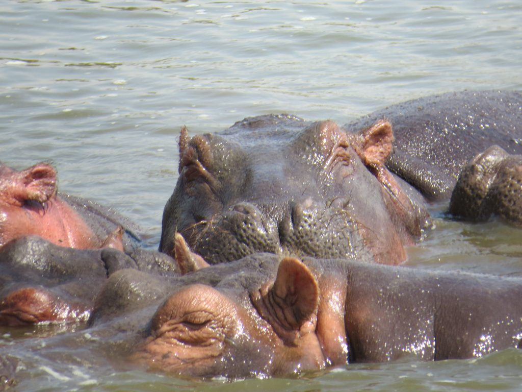 Hippos on the Kazinga channel boat safari