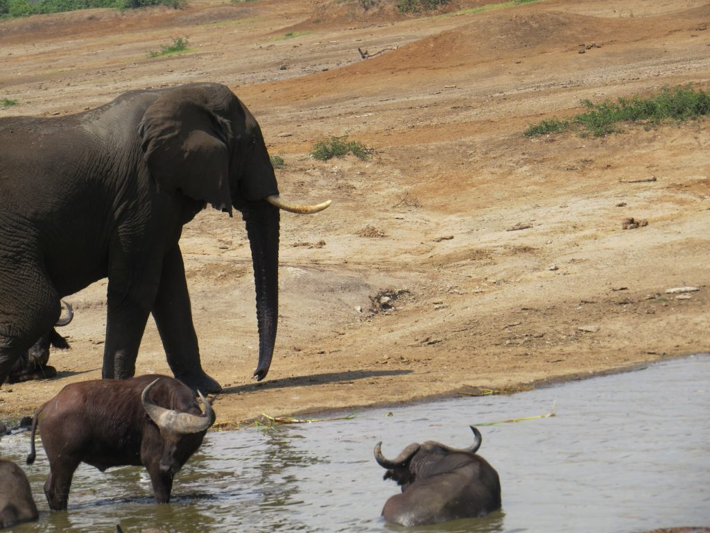 Elephant and buffalos on a Kazinga channel Boat safari