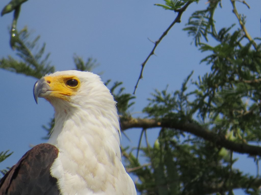 African fish Eagle at Kazinga channel