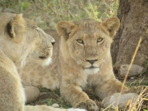 Lions in Kidepo- Top activities to do in Kidepo National park