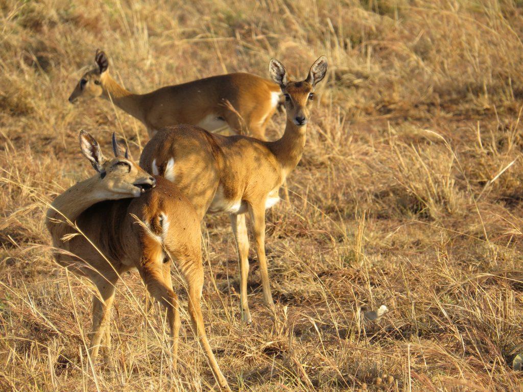 Oribi Antelop- Kidepo Wildlife Safaris