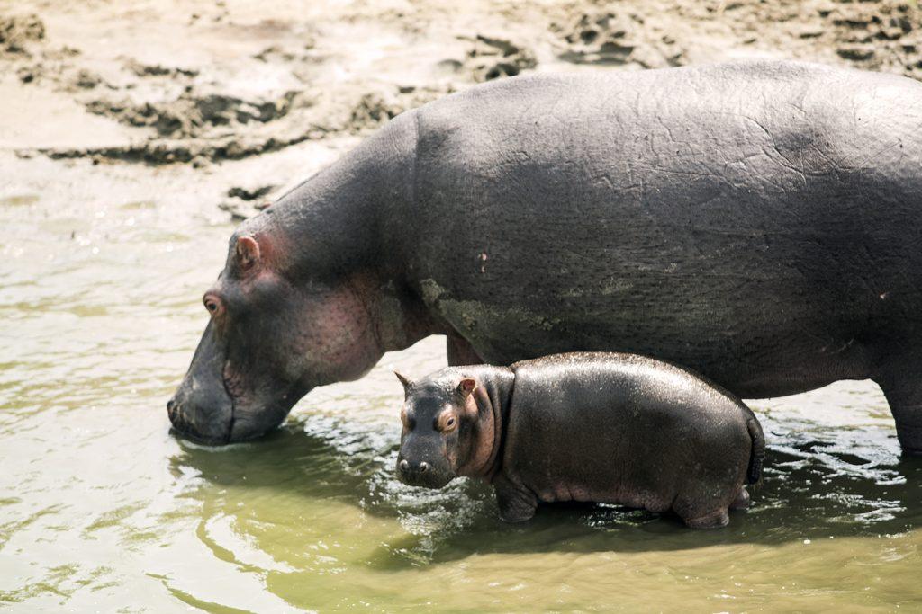Hippo and baby in Queen Elizabeth NP- Cost of Uganda safaris
