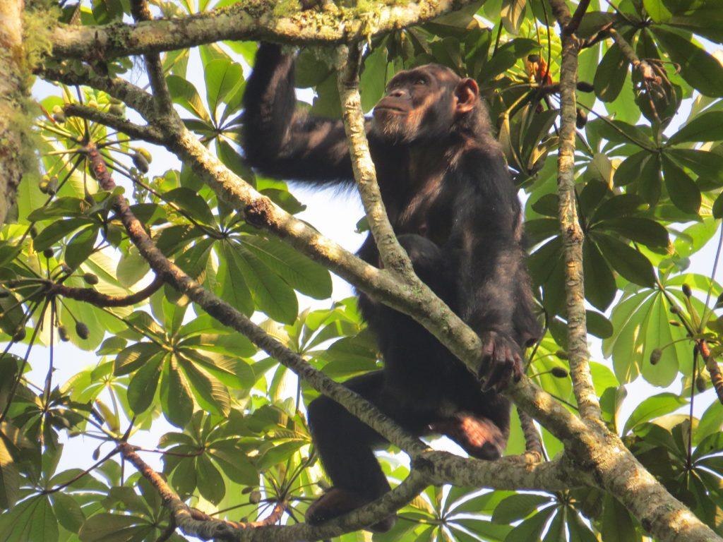 Chimpanzee in Kalizu- The best place for chimpanzee trekking in Uganda