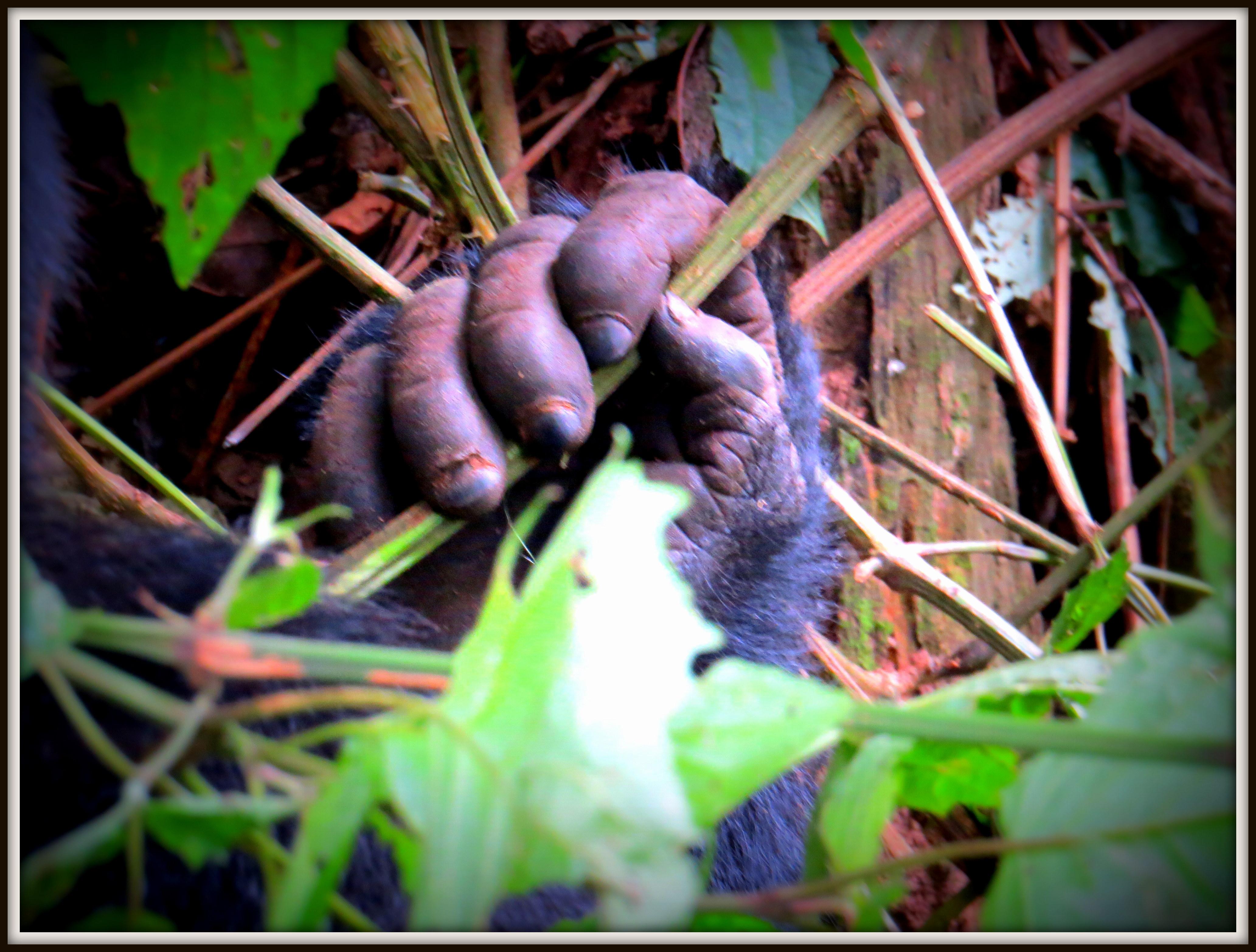 Gorilla trekking in Uganda- 3 days luxury gorilla safari in Uganda via Kigali