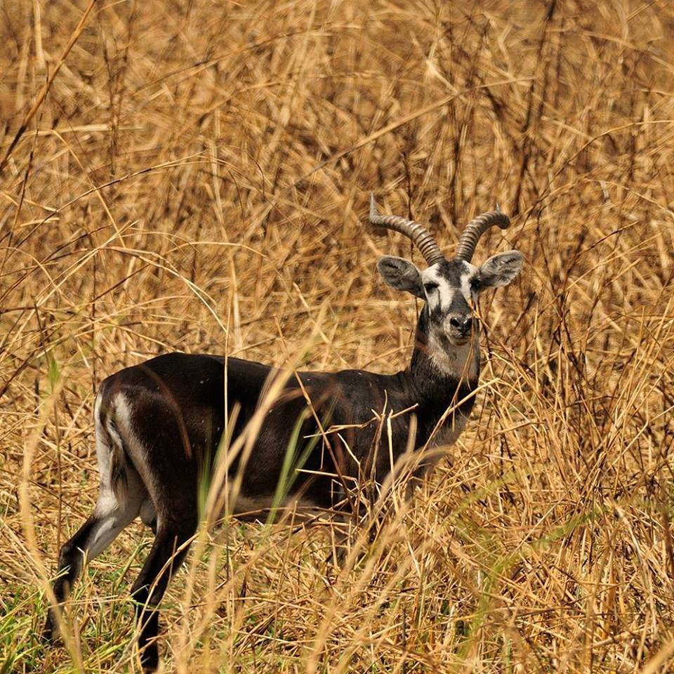 White Eared Kob spotted in Pian Upe Wildlife Reserve
